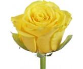 Розы Илиос