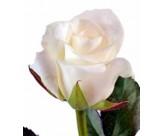 Розы Акито