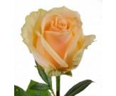 Розы Пич Аваланч
