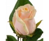 Розы Талеа